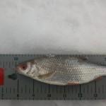 Kisasa kalojen yhteispituus ratkaisi. Ne mitattiin jo jäällä mittalaudan päällä.